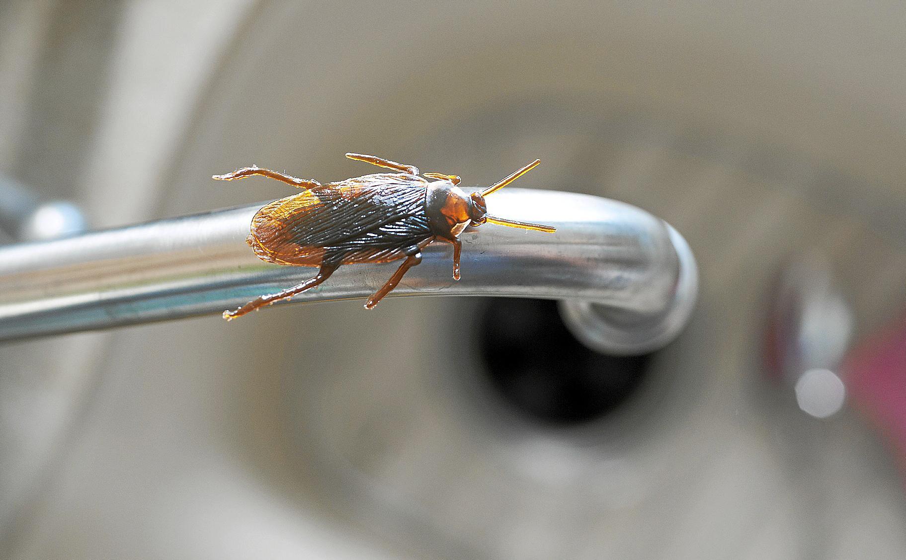 So Bekämpfen Sie Kakerlaken Wirksam
