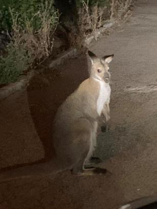 So sieht es aus, das Känguru von Mallorca.