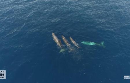 Tursiops y WWF avistan un alto número de crías de cachalote al norte de Menorca