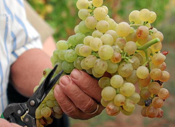 Abgeerntete Weintrauben auf Mallorca.