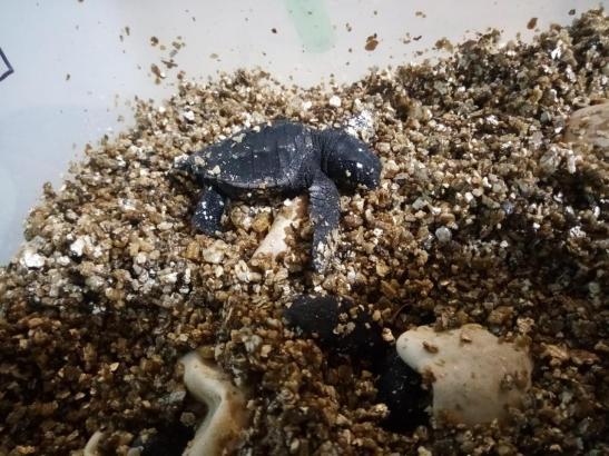 Eine junge Meeresschildkröte.