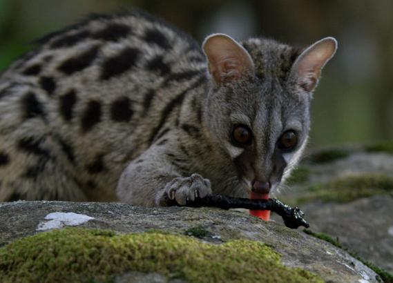 Die Ginsterkatze ist vor allem in Afrika zu Hause, aber auch in Südspanien.