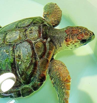 Schildkröte Toni verschluckte große Mengen an Plastik.