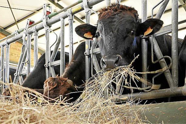 Wagyu-Rinder gelten als unkompliziert in der Haltung und haben ein freundliches Wesen.