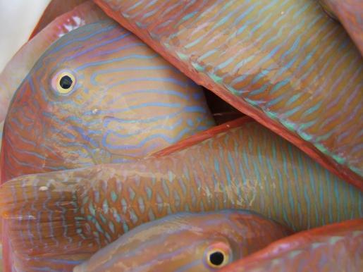 Raor-Fische kommen rund um Mallorca zwar vor, aber eher selten.