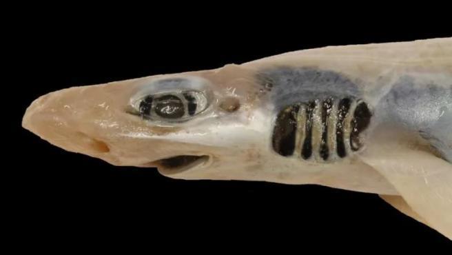 Warum dieser Hai überlebensfähig ist, ist den Forschern ein Rätsel.