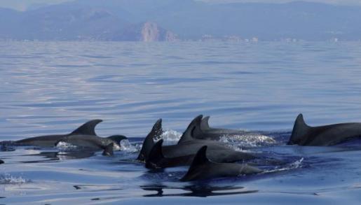 Delfine schwimmen gerne in der Gruppe und lieben es zu spielen.