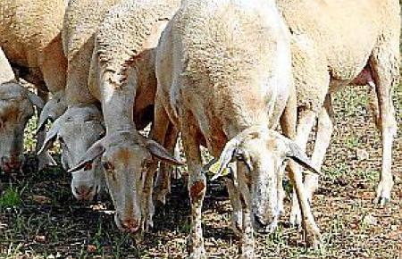 140 Schafe hat Lluís Cirera inzwischen.