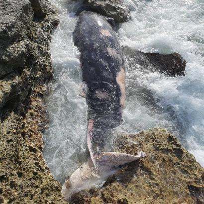 Bei dem gestrandeten Tier handelt es sich um einen Cuvier-Schnabelwal.