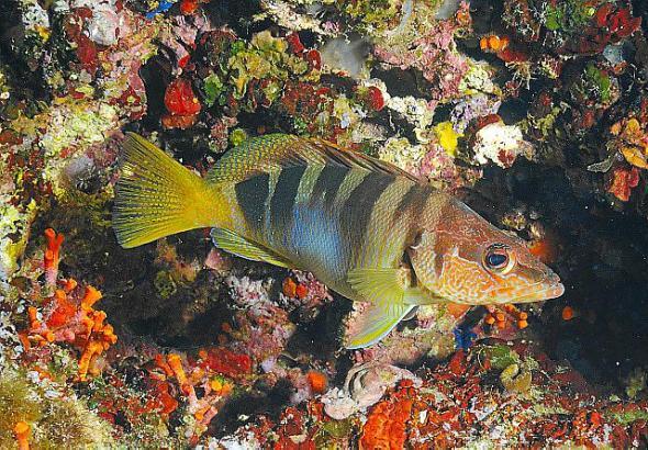 Der Schriftbarsch (Serranus scriba) gehört zu den typischsten Fischen der Küstenräume. Er hat einen leuchtend blauen Bauch.