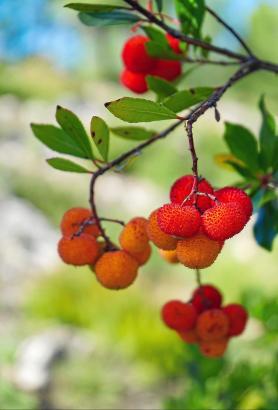 Gelb, orangefarben und rot: Die Früchte desErdbeerbaumes sind schon von weitem sichtbar.
