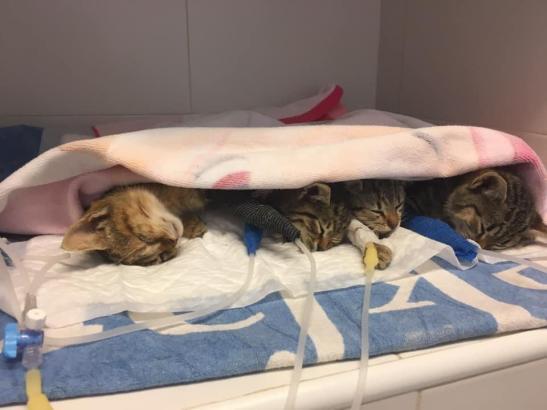 Die kleinen Katzen werden bei einem Tierarzt wieder aufgepäppelt.