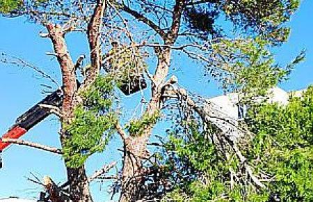 Der hundert Jahre alte Baum fiel der Säge zum Opfer.