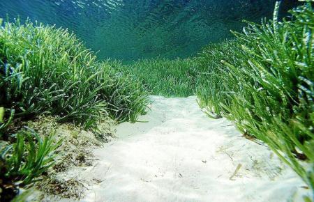 Intakte Seegraswiese vor Mallorca.