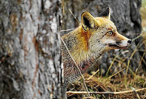 Dieser Fuchs ist der letzte seines Rudels.
