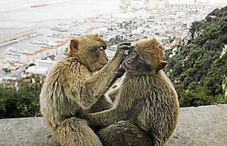 Die zahlreichen Affen gelten als Wächter des Gibraltarfelsens.