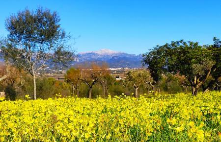 Auf Mallorca blühen an einigen Orten Blumen.