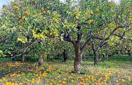 Sóller und Fornalutx sind bekannt für ihre Orangenplantagen.