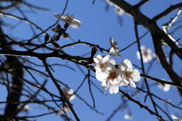 Weiße Mandelblüte.