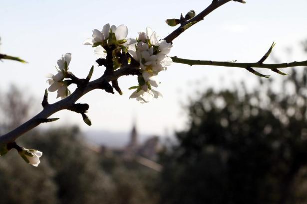 Der Himmel über der Mandelblüte auf Mallorca wird am Wochenende eher als sonnig bedeckt sein.
