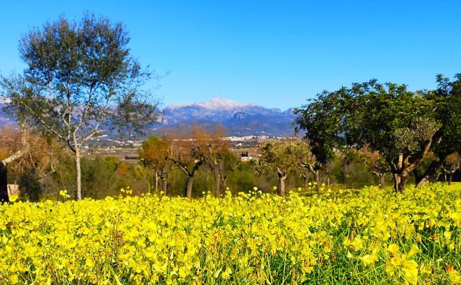 Sonnenschein und blühende Frühlingswiesen. Damit ist kommende Woche auf Mallorca zu rechnen.
