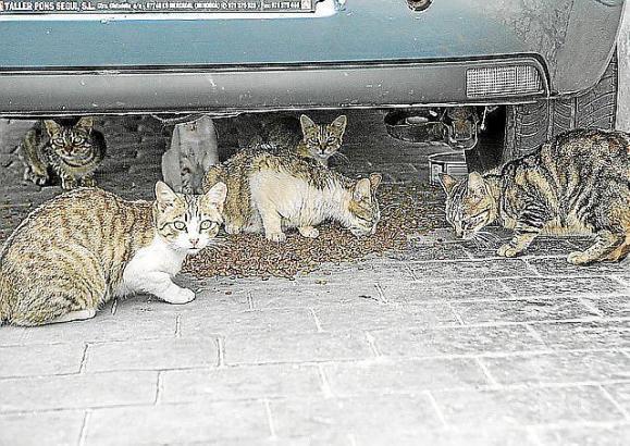 Wilde Katzenkolonien gibt es auf Mallorca in vielen Gemeinden.