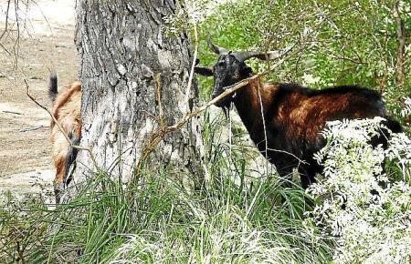In sieben Gebieten dürfen die mallorquinischen Wildziegen gejagt werden.