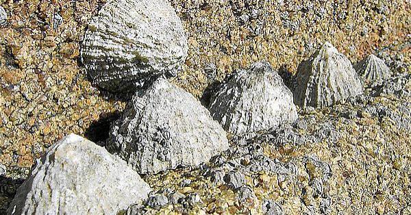 So sehen die sogenannten Lapa-Muscheln aus.