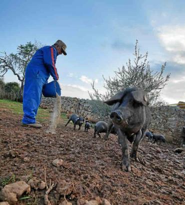 Zweimal am Tag fährt Tomeu Torres hinaus auf seinen Acker und füttert seine Schweineherde.