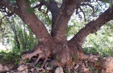 Auf Mallorca gibt es viele außergewöhnliche Exemplare.