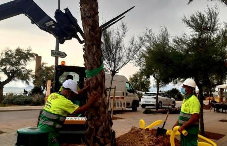 Arbeiter bei der Pflanzung von Palmen an der Playa de Palma.