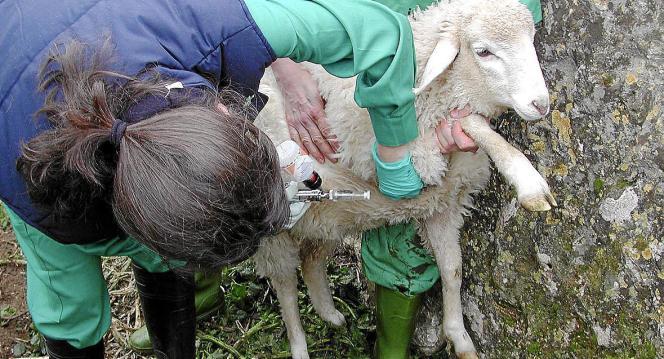 Veterinär bei der Impfung gegen die Blauzungenkrankheit.