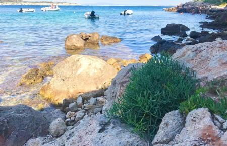 Der robuste Meeresfenchel ist an vielen Felsküsten Mallorcas zu finden.