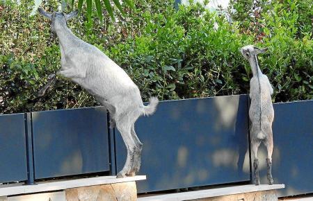 Wilde Ziegen sind auf Mallorca ein Markenzeichen. Doch in Camp de Mar werden die Tiere immer wieder zum Problem.