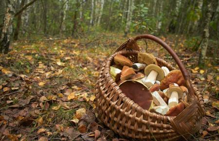 Im Herbst gibt es auch auf Mallorca reichlich Pilze. (Foto: Archivbild)