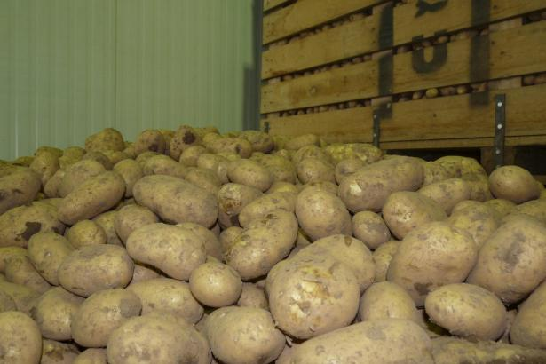 """Bei den Abnehmern besonders beliebt: Kartoffeln der Sorte """"Lady Christl""""."""