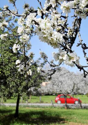 Schnee und Kälte haben die Vegetation zwar gebremst, aber nicht geschädigt: Bei Santa Maria blühten die Mandelbäume am letzten W