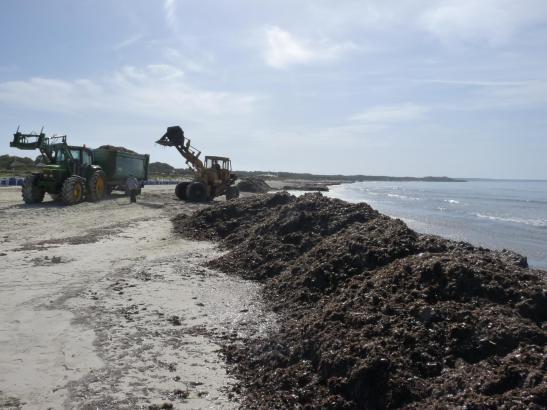 In Sa Rápita weden derzeit die Algen abgetragen.