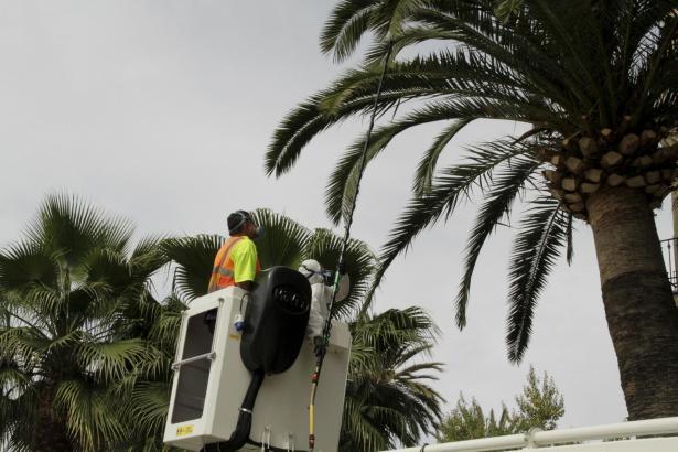 Ein Mitarbeiter des Grünamts in Palma überprüft eine Straßenpalma.