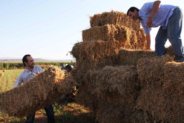 José Ramón Bauzá (l.) wuchtet den Strohballen auf den Anhänger des Traktors. Sein Agrarminister Biel Company schichtet.