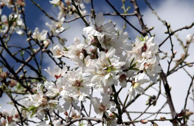 Im Inselinnern hat die Mandelblüte begonnen.