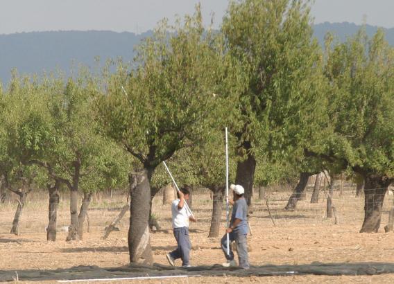 In Marratxí dürfen Arbeitslose jetzt auf kommunalem Grund Mandeln und Früchte sammeln.