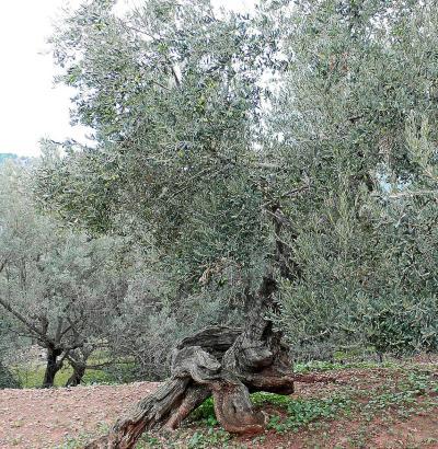 Die alten und knorrigen Olivenbäume stammen aus den höher gelegenen Regionen des Tramuntana-Gebirges.