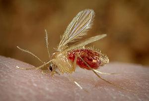 Die betende Mücke steht im Verdacht Leishmaniose zu übertragen.