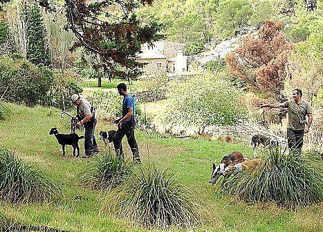 Bei der Jagd auf die Ziegen wird die traditionelle Methode mit Hunden und Seilschlingen angewandt.
