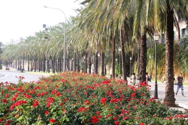 Optisch frühlingshaft: So präsentiert sich derzeit der Paseo Marítimo in Palma.