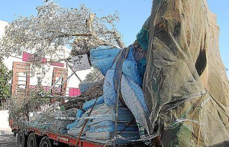 Schon der Transport eines alten Olivenbaums ist aufwendig und teuer.