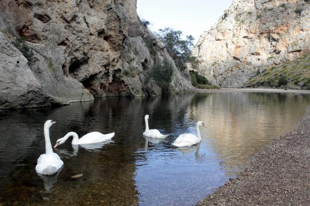 Dieses Bild von Schwanensee boten die Wasservögel im Sommer auf dem Torrent de Pareis.