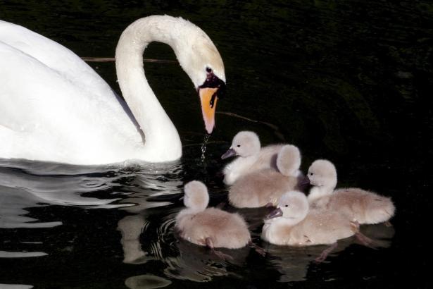 Die jungen Schwäne waren im Sommer die Foto-Attraktion im Wasserbecken der Borne-Gärten Horts del Rei, unterhalb des Almudaina-P