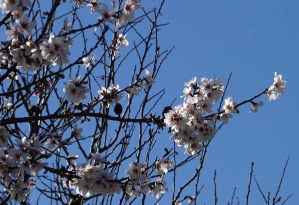 Am Sonntag gibt es mit Glück blauen Himmel zu den erstenbMandelblüten.